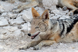 Photo blackbacked jackal canis mesomelas lying in etosha park oshana namibia true wildlife