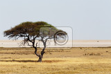 typical large acacia tree in the open savanna plains of east africa botswana hwankee