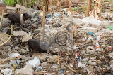 Fotografie muddy pig eating in a pile of garbage bali nusa penida indonesia