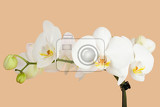 romantic branch of white orchid on beige background