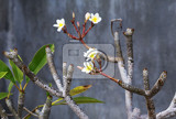wild spa flower white frangipani tropical flower plumeria flower blooming on tree nusa penida indonesia