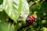 green raw coffe plant in agricultural farm in bali indonesia