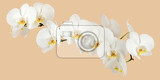 Fotografia romantic branch of white orchid on beige background studio shoot