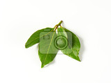 sprig of bay leaves on white background