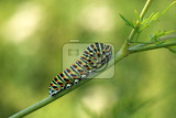 Photo Caterpillar Swallowtail