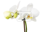 romantic branch of white orchid isolated on white background studio shoot