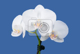 Fényképek romantic branch of white orchid on blue background studio shoot
