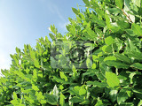 Fotografie closeup of a green laurel shrub  outside
