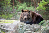 Photo big male of brown bear ursus arctos in winter forest bear sits on a rock europe czech republic