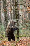 Photo big female of brown bear ursus arctos in winter forest standing on tree and looking for food europe czech republic