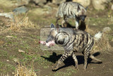 Photo running striped hyena hyaena hyaena with flesh in mouth