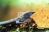 small lizzard varanus macraei resting on wooden stump