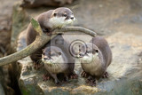 portrait of beautiful and playful river otter wildlife czech republic