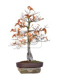 bonsai  beech red tree with white background fagus silvatica atropurpurea