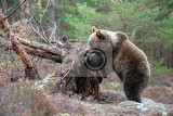 Fotografie big female of brown bear ursus arctos in winter forest europe czech republic