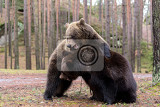 Fotografie big female and male of brown bear ursus arctos playing in winter forest europe czech republic motion blur