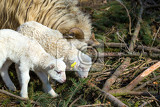 Fotografie sheep with small lamb on rural farm lamb is easter holiday symbol