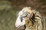 ram or rammer male of sheep in rural farm