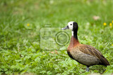 whitefaced whistling duck standing close to a river on green grass