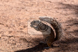 Fotografie south african ground squirrel xerus inauriswith a raised tail eats foodkalahari south africa