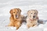 two dogs golden retriever lying in the snow in winter