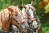 Fotografie the heads of two brown horses in harnesses with blonde manes side by side