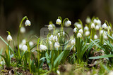 Fotografie early spring snowflake flowers in march leucojum vernum group in a spring forest