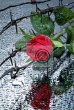 Fotografia rose and barbed wire on a glass with waterdrops