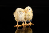 Fotografia little yellow chicken on a black studio background