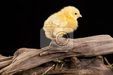little yellow chicken on a black studio background