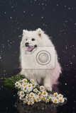 white smoyed dog on black studio background
