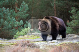 Fotografie big male of brown bear ursus arctos in winter forest europe czech republic