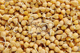 sprouted chick peas  full frame