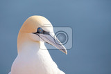 Fotografie northern gannet sula bassana detail head portrait of beautiful sea bird sitting on the nest with blue sea water in the background helgoland island germany