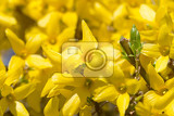 Fotografie beautiful yellow blossoms of forsythia bush in spring garden