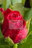 Fotografia detail of fresh red rose with water drops