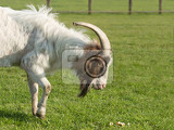 goat with one horn on pasture