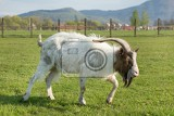 Fotografie goat with one horn on pasture