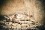 striped tabby cat lying  small focus