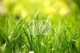 two color green plant grass leaf in spring garden for natural background wallpaper or backdrop use spring background spring backdrop natural background natural wallpaper spring wallpaper
