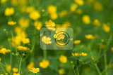 Photo marshmarigold first yellow flowers spring caltha palustris known as marshmarigold in spring forest near small creek czech republic