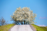 Fényképek field of wheet with tree in bloom white cherry flower on tree in rural countryside beautiful countryside background spring backgroundbeautiful czech highland countryside