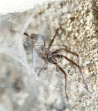 liocranum rupicola is a species of spider in the liocranidae family it is found in europe and russia sprider waiting in web for victim macro shoot