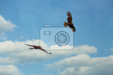 the western marsh harrier male and female circus aeruginosus in flight during mating season on blue sky czech republic wildlife
