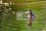 mallard duck anas platyrhynchos female on small river with green reflecting in water
