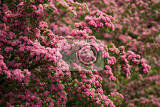 Fotografie flowers pink hawthorn close up hawthorn tree  in latin crataegus laevigata  with bright pink flowers spring natural background sping frowering tree