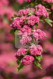 Fotografie flowers pink hawthorn close up hawthorn tree  in latin crataegus laevigata  with bright pink flowers spring natural background sping frowering tree spring tree in pink springtime season