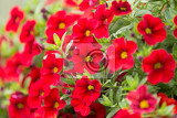 Fotografie beautiful red million bells flower calibrachoa spring flower with many red bloom in springtime