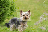 cute small yorkshire terrier is plaing green lawn outdoor cute small pet lovely small species of dog