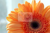 closeup of gerber daisy flower on grey background